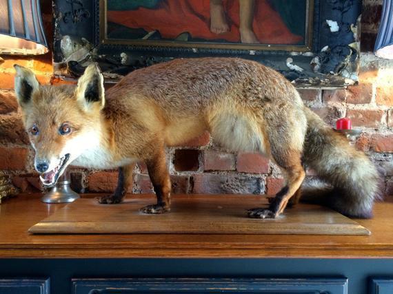 Taxidermy Study Of Fox Full Size On Plinth
