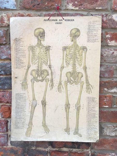 Vintage Human Skeletal Muscular School Medical Science Poster Anatomy