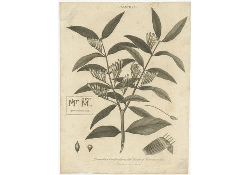 Antique Print Of A Loranthus Plant By Jonas (1814)